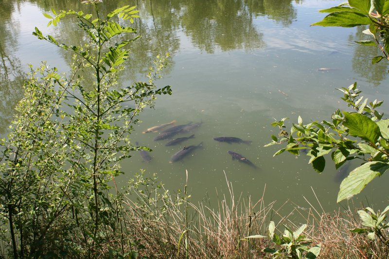 Cherry Pool Carp sunbathing.JPG