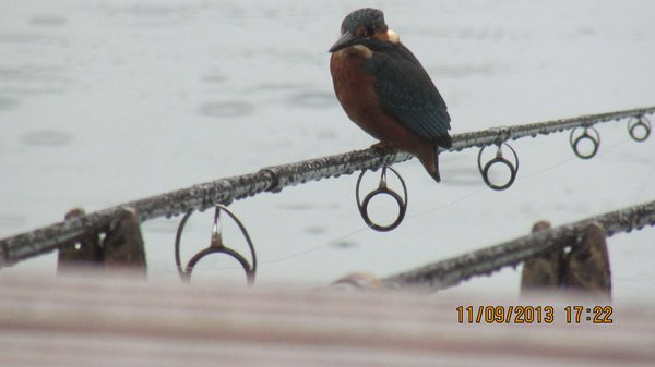 Kingfisher On Rods
