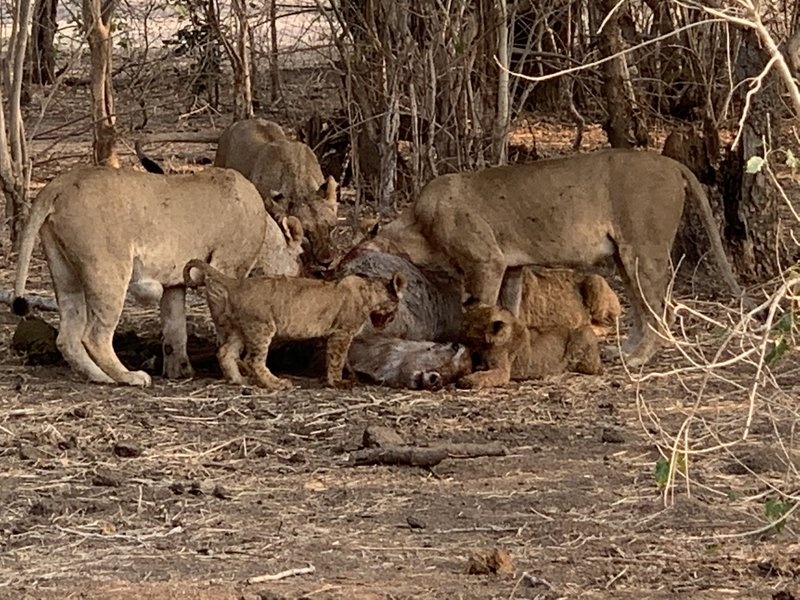 You don't want to be a Water Buck in Zambia! Lions and not Tigers are the top predator!
